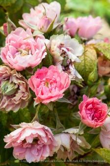 Pink Grootendorst, 8.24.15