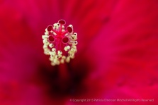 Red_Hibiscus_Stigma,_Yellow_Anthers,_8.27.15
