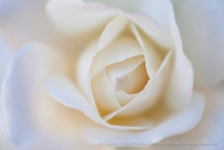 Soft White Rose, 9.15.15