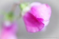 Unsharp-_Pink_Sweet_Pea,_5.21.15
