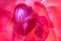 Bright_Rose,_10.5.15
