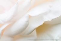 Francis Meilland Rose Petals, 10.19.15