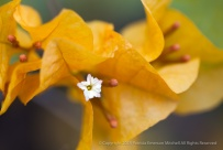 Gold_Bougainvillea,_7.13.15