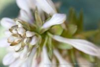 Hostas_Flowers,_6.26.15