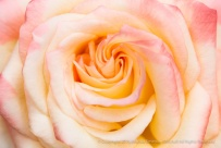 Ivory,_Pink_&_Yellow_Rose,_10.15.15