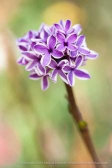 Lilac_Flowers_(I),_10.14.15