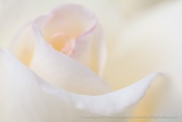 Pink-tinged_White_Rose,_9.10.13
