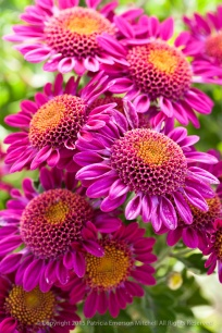 Pink_Chrysanthemum_Bouquet (I),_10.14.15