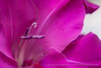 Pink_Gladiolus,_Purple_Stamen,_6.12.13