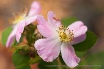 R. Eglanteria Rose, 10.26.15