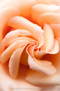 Raindrops_on_an_Apricot_Rose,_10.1.15