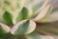Unsharp: Aeonium decorum 'Sunburst', 6.10.15
