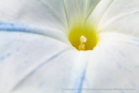White_&_Blue_Morning_Glory_(I),_10.13.15