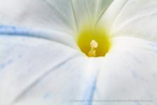 White_&_Blue_Morning_Glory_(I),_10.13.15