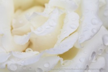 White_Rose_With_Raindrops_(I),_10.15.15