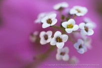 White Sweet Alyssum, 10.5.15