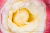 Yellow_&_Pink_Rose_(I),_10.15.15