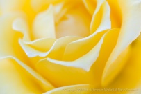 Yellow Rose with Raindrops, 10.8.14