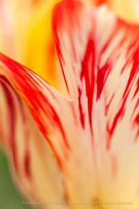 Filoli-_Red_&_Yellow_Tulip_Detail_(II),_3.20.14