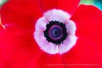 Filoli-_Red_Anemone,_10.10.15