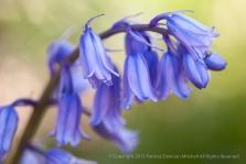 Hyacinthoides-nonscripta,_4.2.15