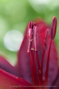 Lily_Stamen_with_Water_Drops,_6.9.14