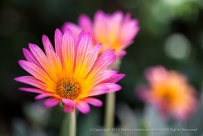 Pink_&_Orange_Osteospermum,_10.11.15