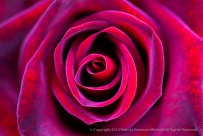 Red_Rose,_11.17.15