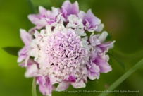 Scabiosa_Like_A_Bridal_Bouquet,_6.9.15