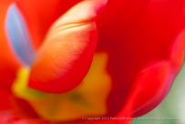 Unsharp-_Bright_Tulip,_3.3.15