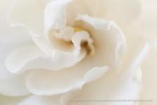 White_Gardenia,_(I),_6.8.15