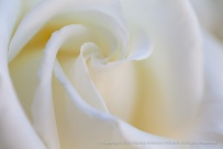 White Rose Swirl (I), 6.9.14