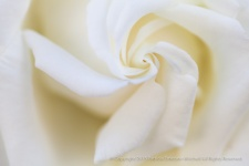 White_Rose_Swirl_(II),_6.9.14