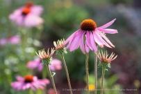 Echinacea_Flowers,_12.18.14