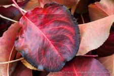 Fallen Leaves, (I), 12.8.15