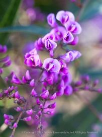 Hardenbergia violacea, 1.23.15