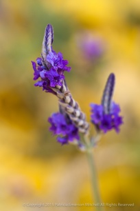 Lavender_Against_Yellow_&_Green,_12.8.15