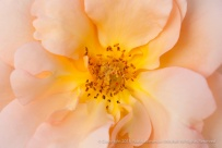 Pale_Pink_Rose_with_Yellow,_11.6.14