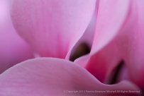 Pink_Cyclamen_Petals,_11.11.14