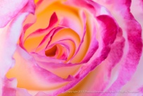 Pink, White & Yellow Rose, 4.25.13