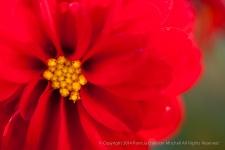 Red_Dahlia,_7.2.14