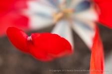 Red Petal, 3.6.15