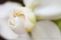 White_Gardenia,_(II),_6.8.15