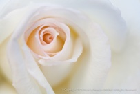 White_Rose,_Pink_Center_(II),_11.13.15