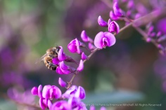 A Hungry Bee & Hardenbergia violacea, 1.23.15