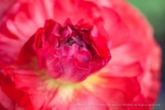 Bright Ranunculus, 2.9.15