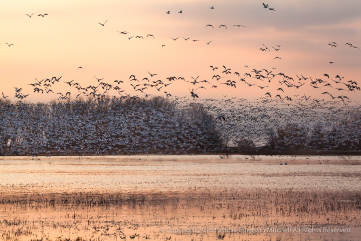 Geese_in_the_Morning,_1.1.16.jpg