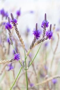 Lavender, 12.8.15