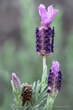 Lavender, 2.25.14