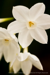 Narcissus_(I),_12.4.16